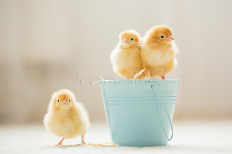 Little cute baby chicks in a bucket, playing at home royalty free stock photo