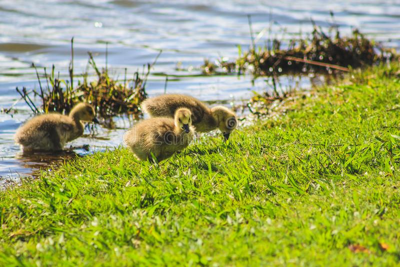Little cute baby duck at a lake in Tauranga, North Island, New Zealand.  royalty free stock photo