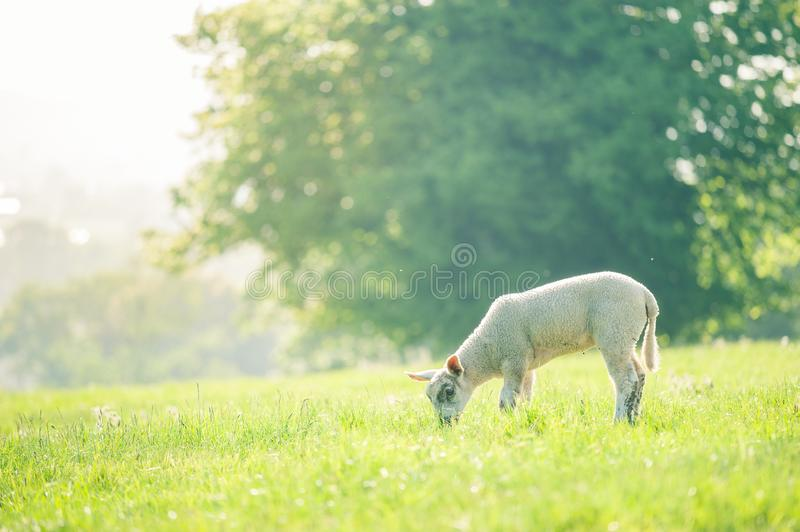 little cute baby lamb eating a grass on spring field lit by sunlight. Copy Space. Selective focus. royalty free stock photo