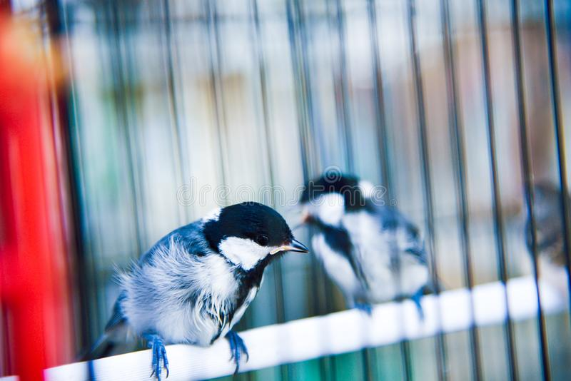 Little cute birds in a cage enjoying morning sunrise royalty free stock image