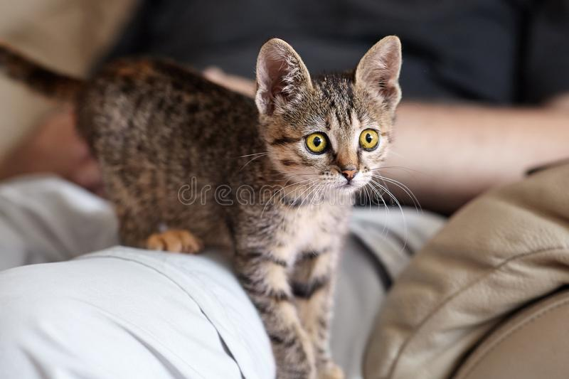 Little cute brown tabby kitten with big yellow eyes on man knees. royalty free stock photography