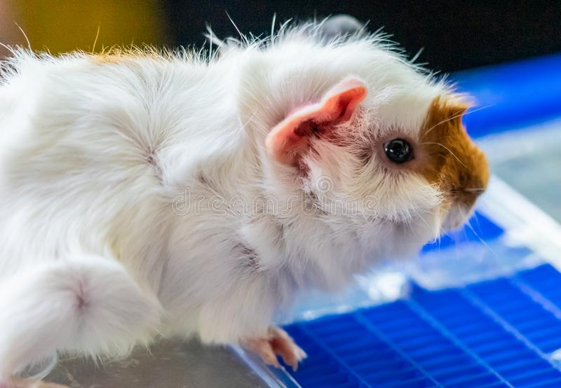Little brown and white guinea pig pet stock photos