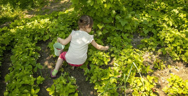 Little cute child girl picking strawberry outdoors. Kids pick fresh fruit on organic strawberry farm.  royalty free stock photos