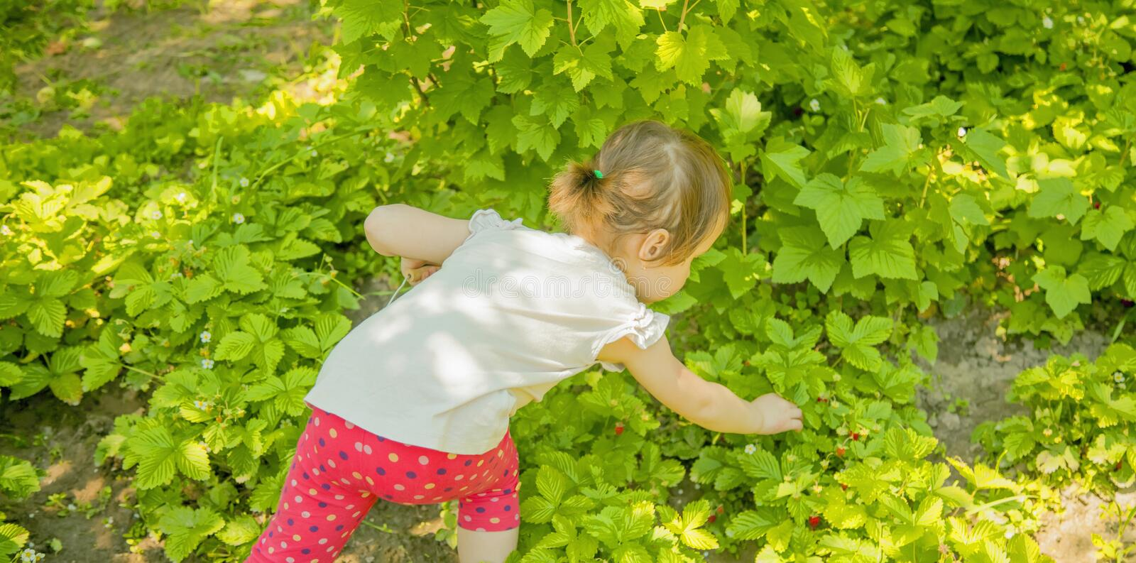 Little cute child girl picking strawberry outdoors. Kids pick fresh fruit on organic strawberry farm. Agriculture, health, bio. Food concept stock image