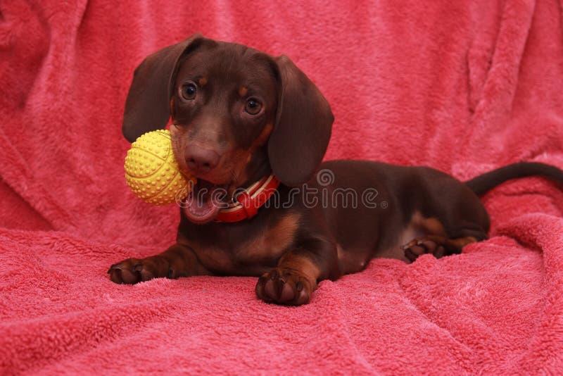 Little cute dog chocolate Dachshund with bal lays on pink background. Little cute dog chocolate Dachshund lays on pink background royalty free stock photo