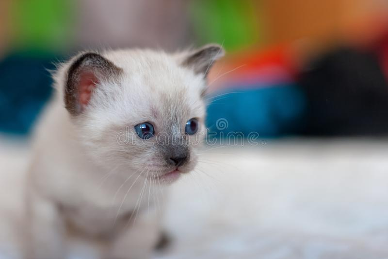 Little cute fluffy light Siamese Thai kitten with blue eyes. royalty free stock photo