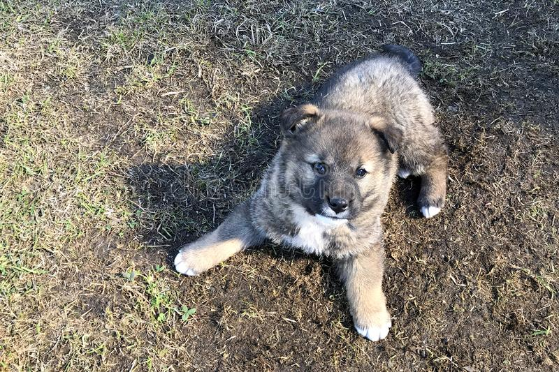 A little cute fluffy puppy of a Caucasian shepherd dog sits on the ground and looks upwards. Awkward brown with white puppy basks in the sun stock photography