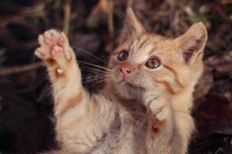 Little cute ginger kitten with paws up in the air stock photo