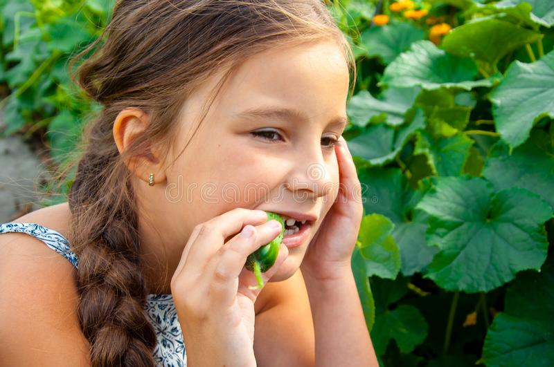 Little cute girl with a long braid, eating a cucumber plucked from the garden stock images