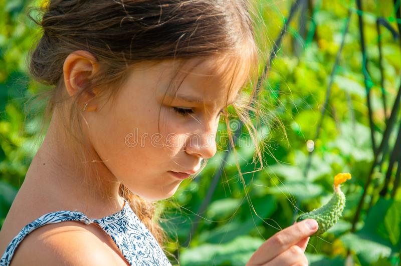 Little cute girl with a long braid, eating a cucumber plucked from the garden stock image