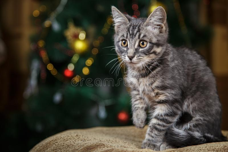 Little cute gray kitten looking to the side, raised his paw royalty free stock photos