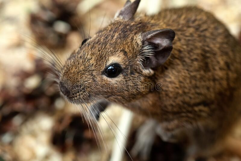 Little cute gray mouse Degou close-up. Animals in the wild.  stock photo