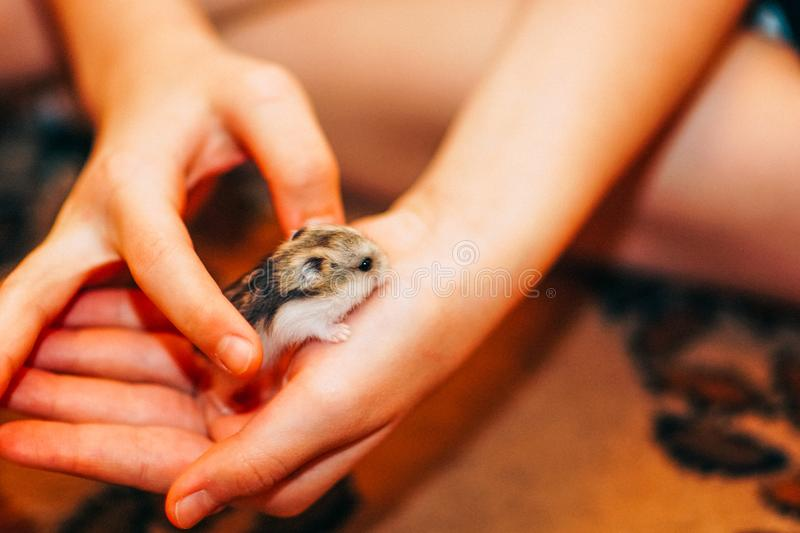 Little cute hamster in human hands stock images