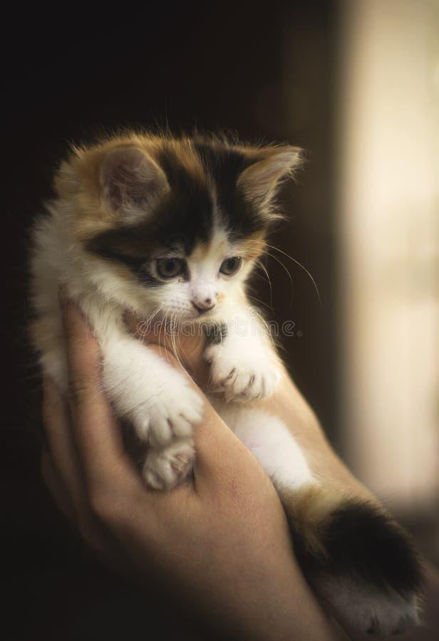 Little cute kitten in hands royalty free stock image