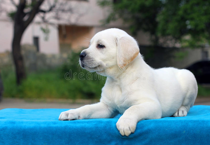 The little cute labrador puppy on a blue background. The little cute yellow labrador puppy sitting on blue background stock photo