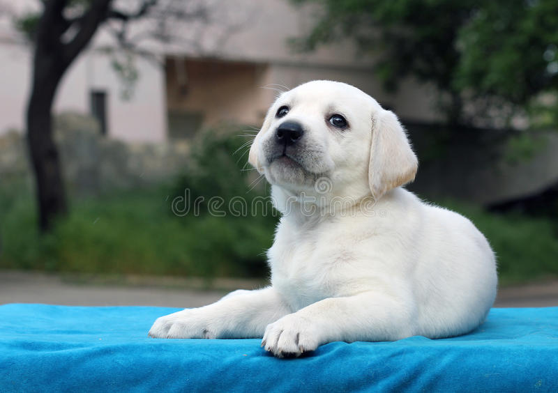 Little cute labrador puppy on a blue background. Little cute yellow labrador puppy sitting on blue background stock photo