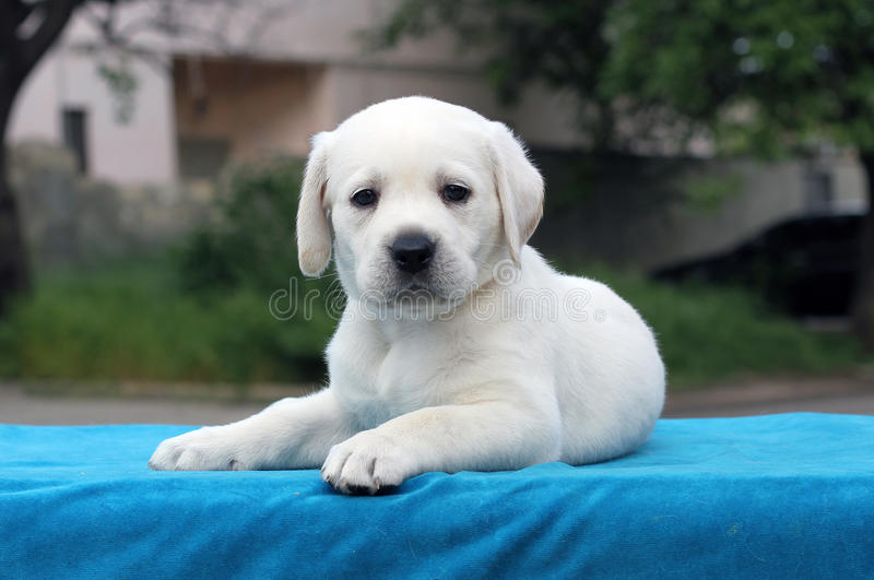 A little cute labrador puppy on a blue background. A little cute yellow labrador puppy sitting on blue background royalty free stock image