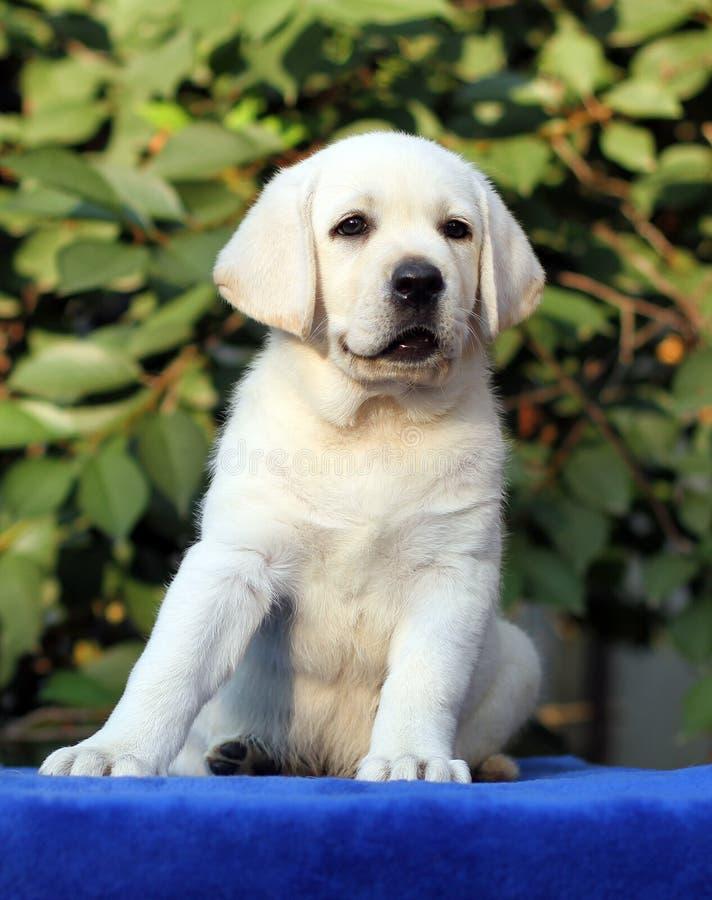 Little cute labrador puppy on a blue background. Little cute yellow labrador puppy sitting on blue background stock photos