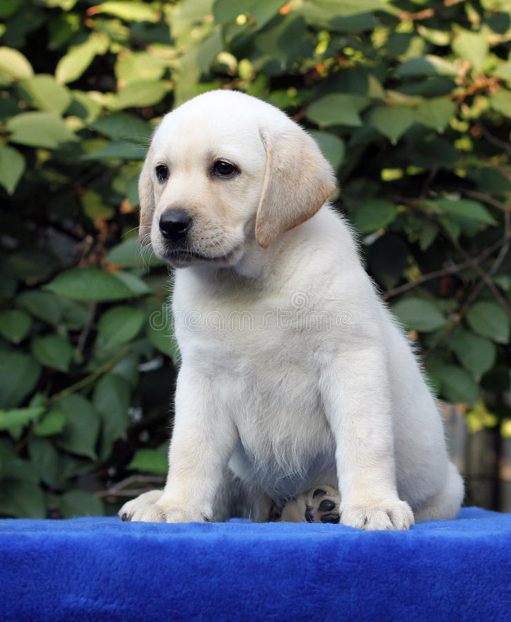 Little cute labrador puppy on a blue background. Little cute yellow labrador puppy sitting on blue background royalty free stock photos