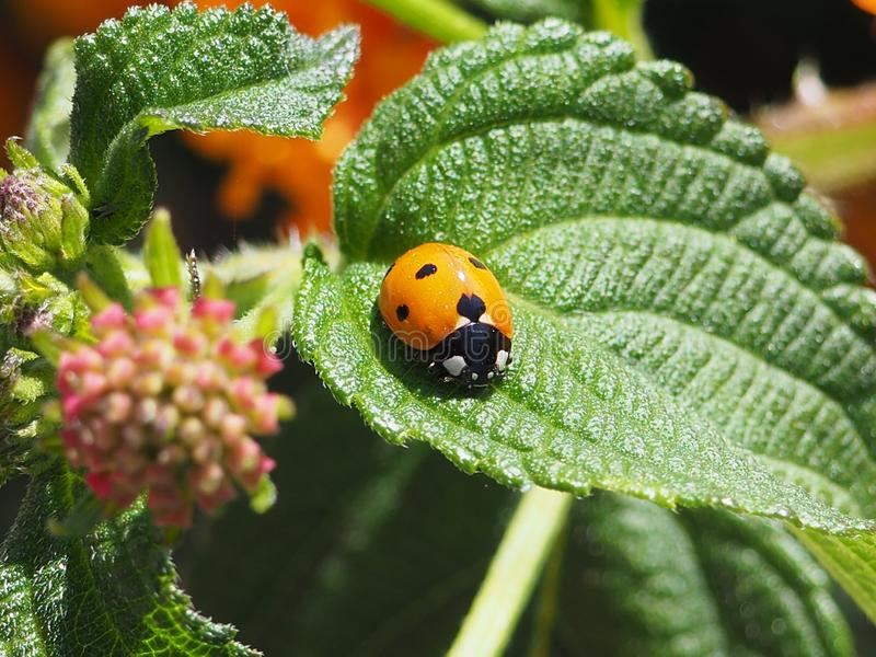A little cute ladybug on a leaf in a garden royalty free stock images