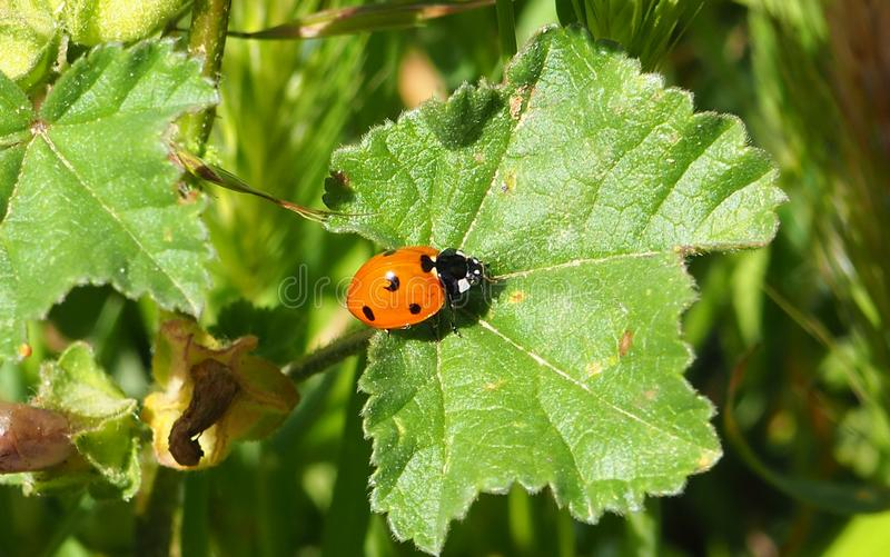 A little cute ladybug on a leaf in a garden stock photography