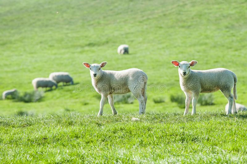 Little cute new born lambs on a green spring field. stock photography