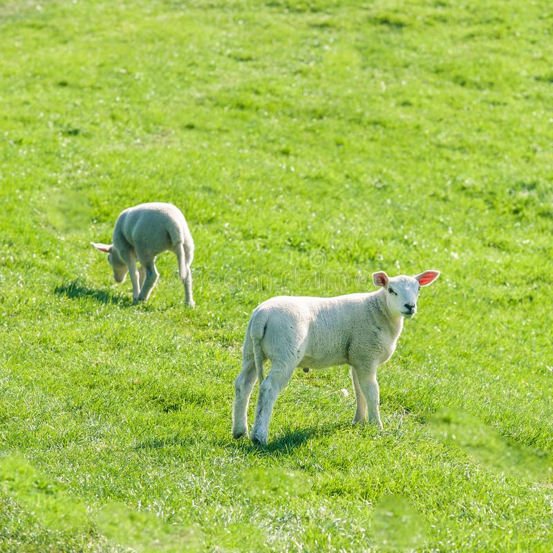 Little cute new born lambs on a green spring field. Little cute new born lambs standing on a green spring field stock photos