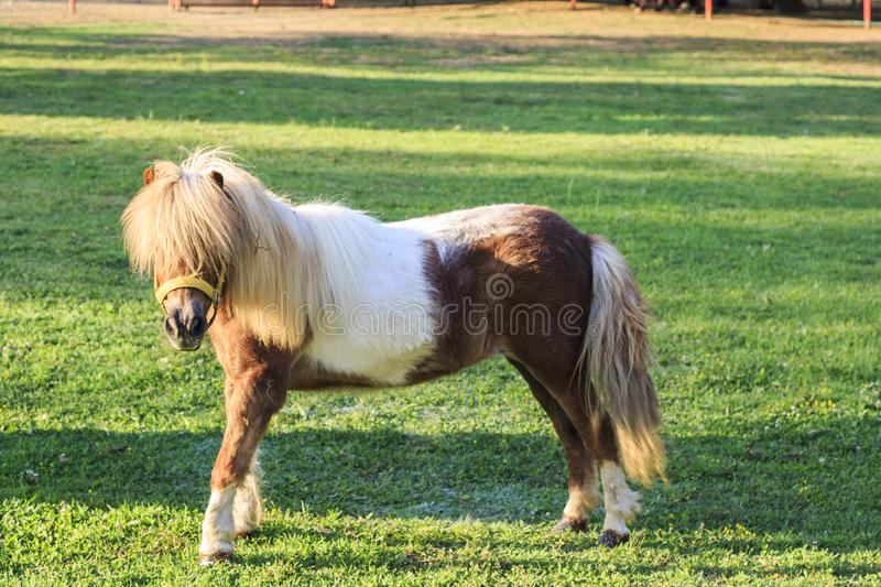 Little cute pony on the green grass field. During daytime royalty free stock image