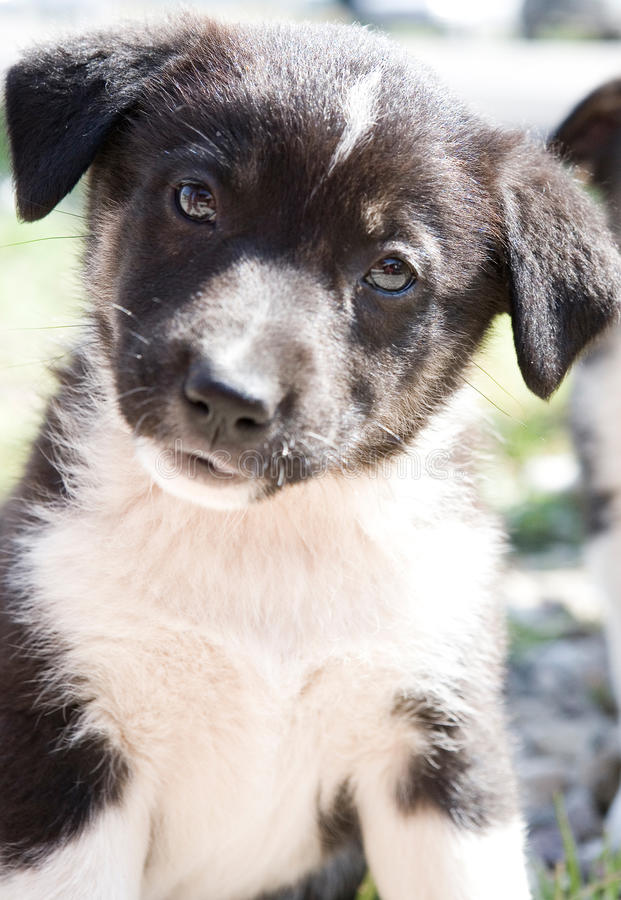 Little cute puppy. Little black and white puppy looking at you stock photos
