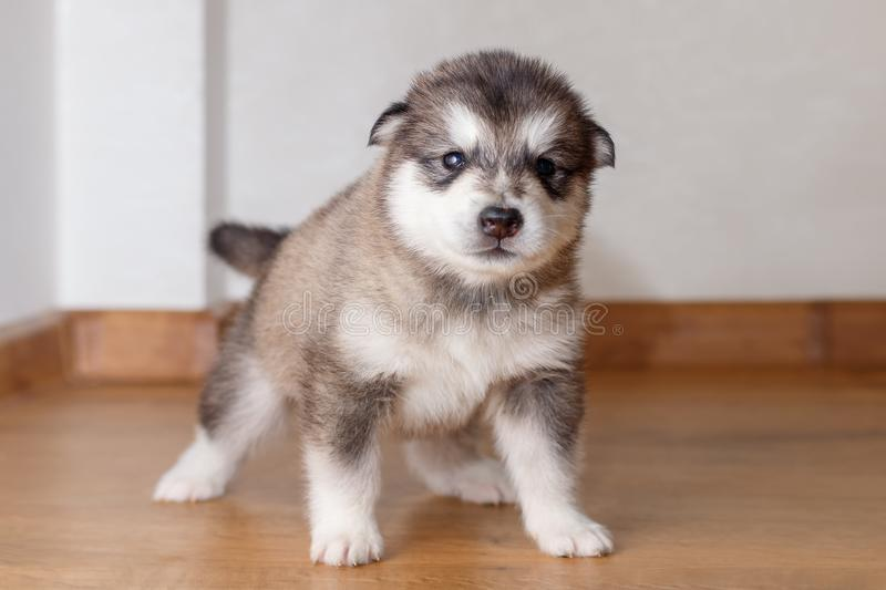 Little cute puppy of breed Alaskan Malamute standing on the floor.  stock photos