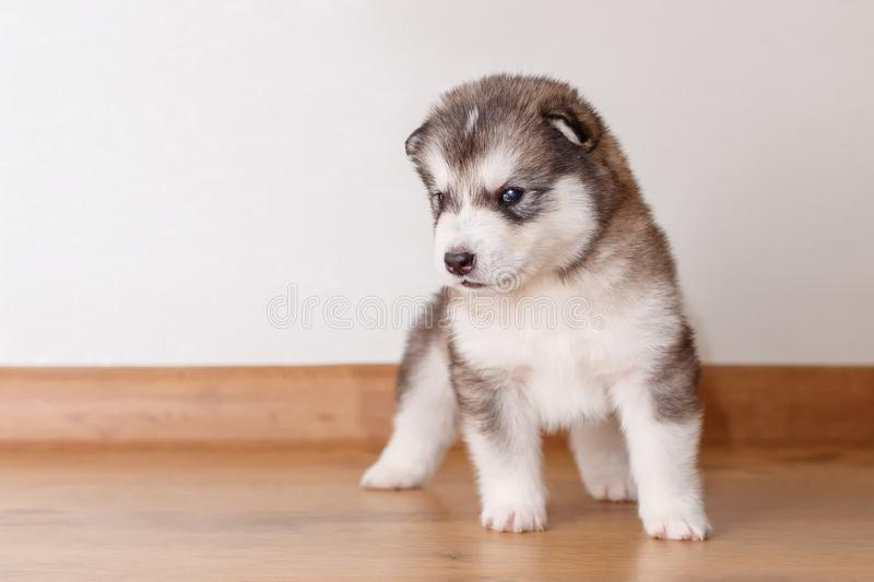 Little cute puppy of breed Alaskan Malamute standing on the floor stock photos