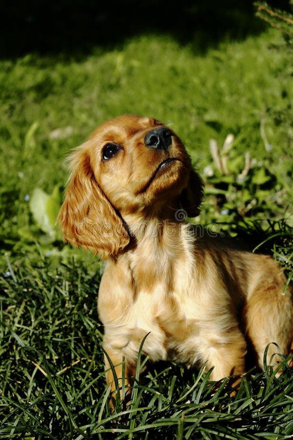 Little Cute Puppy Sitting on grass stock images