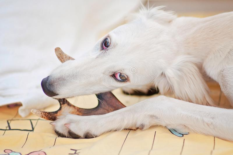 A little and cute purebred white saluki puppy dog persian greyhound eating a bone relaxed at home and holding it with her paws stock photo