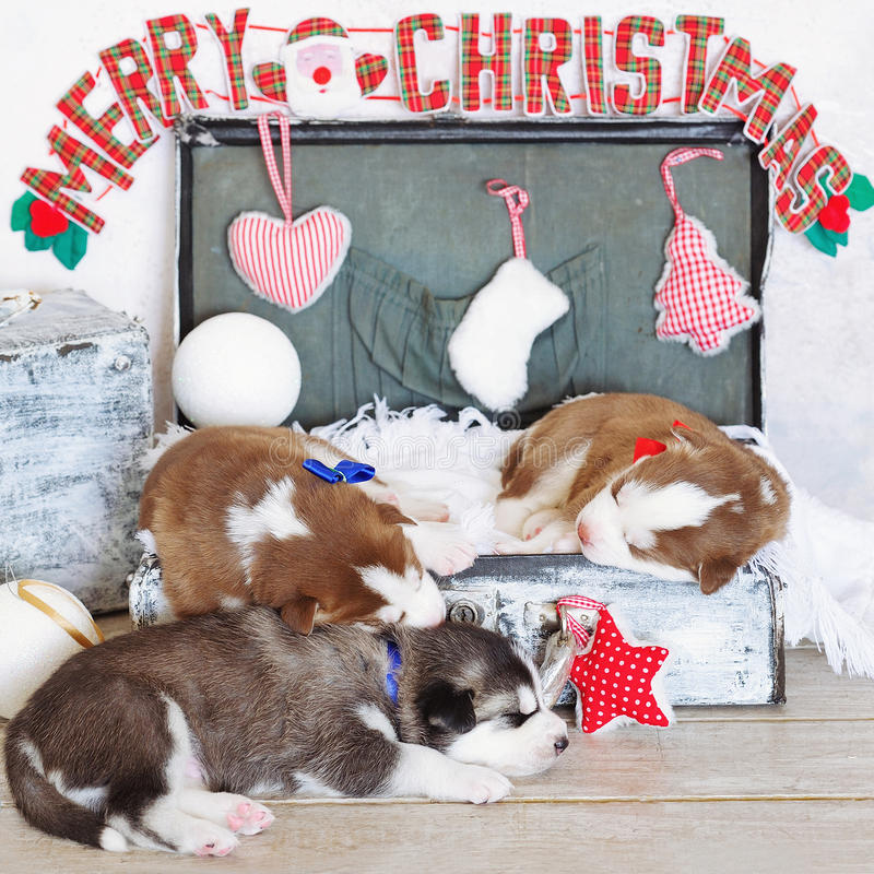 Little cute Siberian Husky puppies as Christmas present. Merry Christmas decorations and sleeping little cute Siberian Husky puppies stock photography
