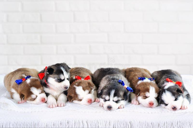 Little cute Siberian Husky puppies royalty free stock photo