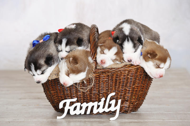 Little cute Siberian Husky puppies. Sleeping in a basket with wooden family sign in front royalty free stock photo