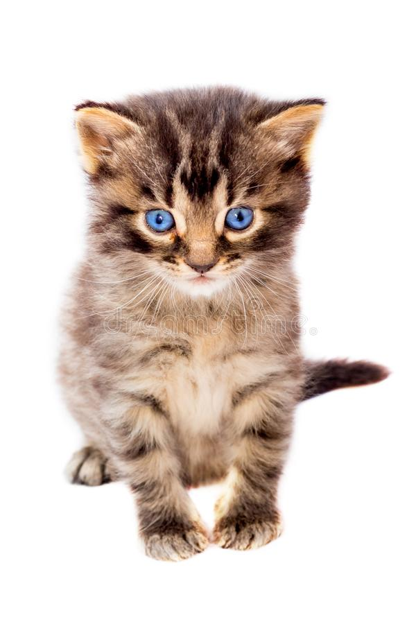 Little cute striped cat with blue eyes on white isolated backgro. Und royalty free stock photography