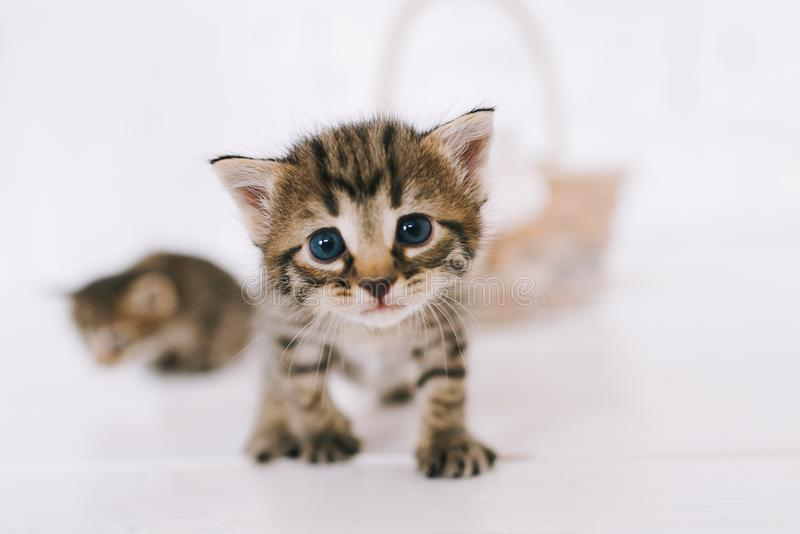 Little cute striped kittens royalty free stock photos