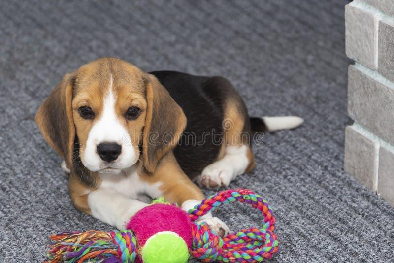 Little cute tricolor Beagle puppy, sad look. Little cute tricolor Beagle puppy, sad look stock image