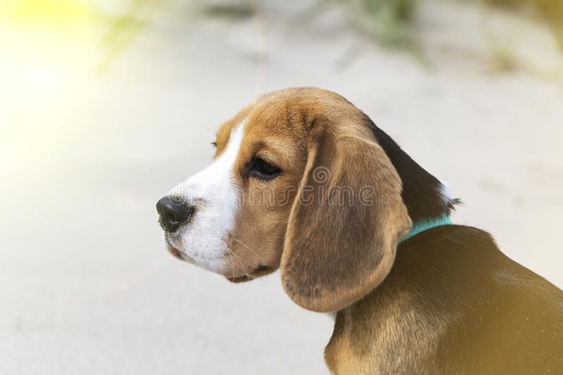 Little cute tricolor Beagle puppy, sad look. Little cute tricolor Beagle puppy, sad look royalty free stock photography