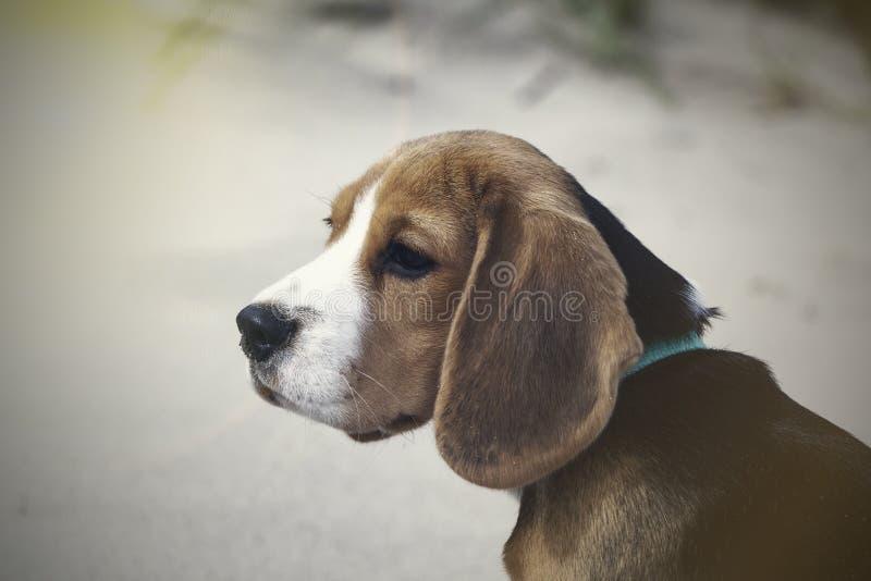 Little cute tricolor Beagle puppy, sad look. Little cute tricolor Beagle puppy, sad look stock images