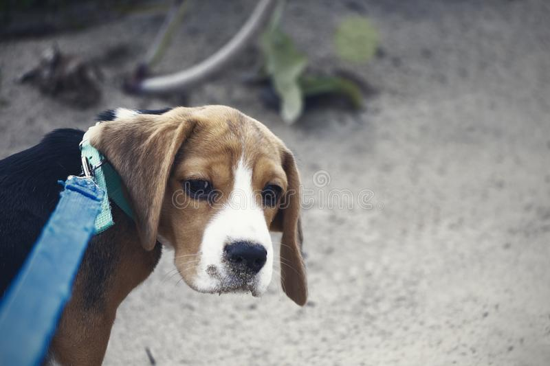 Little cute tricolor Beagle puppy, sad look.  stock images