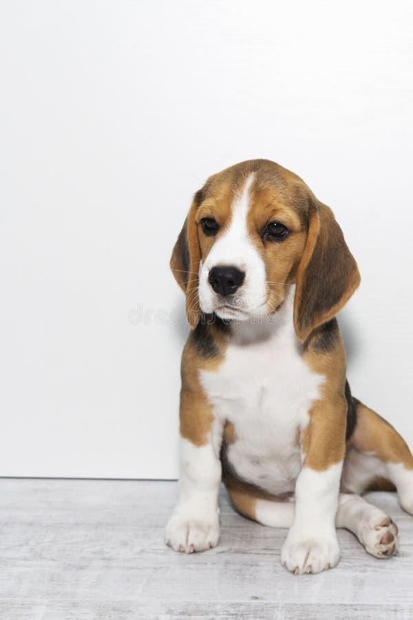 Little cute tricolor Beagle puppy, sad look. Little cute tricolor Beagle puppy, sad look royalty free stock photo