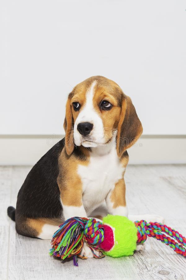 Little cute tricolor Beagle puppy, sad look.  stock image