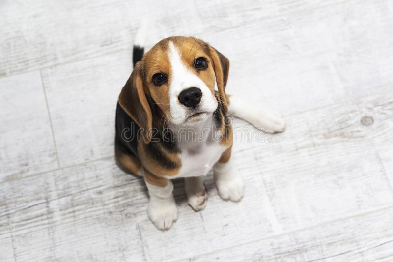 Little cute tricolor Beagle puppy, sad look.  royalty free stock photos