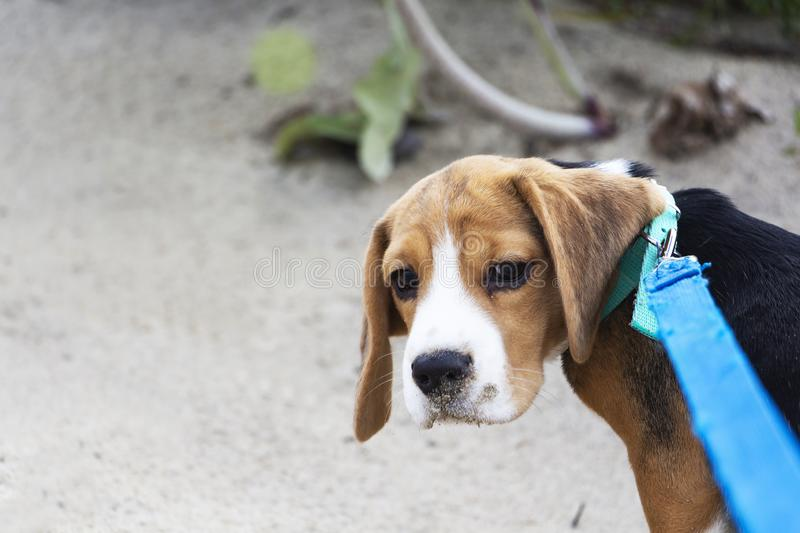 Little cute tricolor Beagle puppy, sad look.  royalty free stock photography