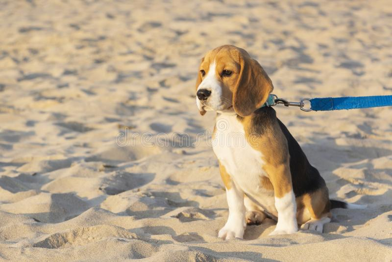 Little cute tricolor Beagle puppy, sad look. Little cute tricolor Beagle puppy, sad look stock photos