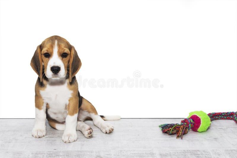 Little cute tricolor Beagle puppy, sad look,white isolated background. Little cute tricolor Beagle puppy, sad look, white isolated background stock photos