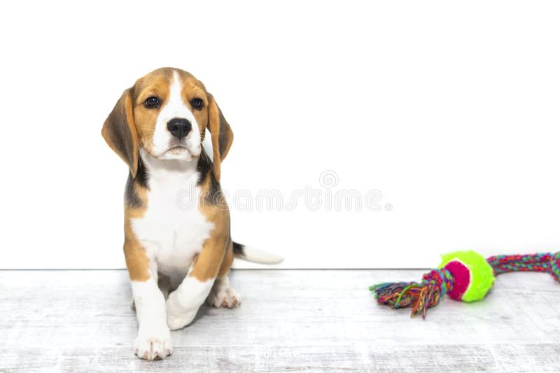 Little cute tricolor Beagle puppy, sad look,white isolated background royalty free stock images
