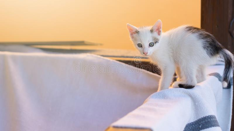 Little cute white cat walking on timber.  royalty free stock image